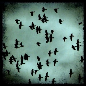 blackbirds in sky